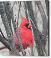 Cardinal With Fluffed Feathers Acrylic Print