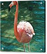 Caribbean Flamingo 2 Acrylic Print
