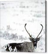 Caribou Rangifer Tarandus Dempster Acrylic Print