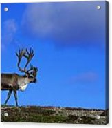 Caribou Walking On Hill Crest Acrylic Print