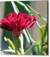 Carnation Named Hounsa Acrylic Print