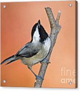Carolina Chickadee - D007814 Acrylic Print