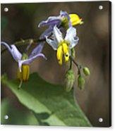Carolina Horse Nettle - Bull Nettle - Devil's Tomato - Solanum Carolinense Acrylic Print