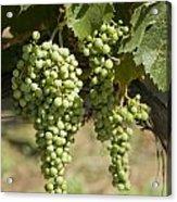 Casa Blanca Valley, Wine Growing Region Acrylic Print by Richard Nowitz