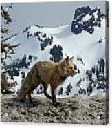 Cascade Red Fox 3 Acrylic Print