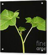 Castor Bean Plant Acrylic Print