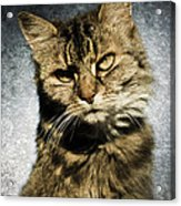 Cat Asks Question Acrylic Print by David Lade