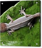 Cat Gecko Acrylic Print