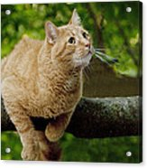 Cat Hanging On A Limb Acrylic Print