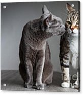 Cat Kiss Acrylic Print