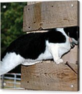 Cat Looking Thru The Knot Hole Acrylic Print