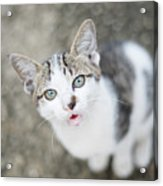 Cat Looking Up Acrylic Print