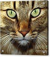 Cat Named Hooch Acrylic Print