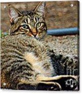 Cat Nap Interuption Acrylic Print