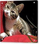 Cat On Red Acrylic Print