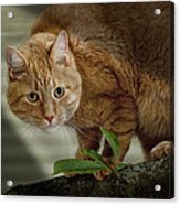 Cat Out On A Limb Acrylic Print