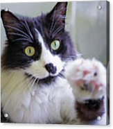 Cat Reaches For Camera Acrylic Print