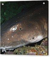 Cat Shark Sleeping, Pulau Tioman Acrylic Print