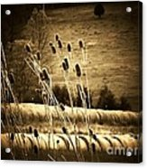 Cat Tails And Hay Rolls Acrylic Print