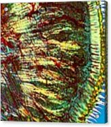 Cat Tongue Tissue, Light Micrograph Acrylic Print by Dr Keith Wheeler