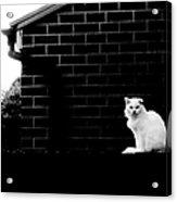 Cat With A Floppy Ear Acrylic Print