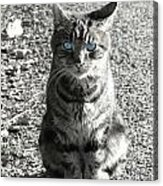 Cat With Blue Eyes Acrylic Print