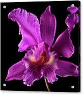 Catalea Orchid Acrylic Print