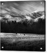 Cataloochee Elk Grazing The Fields Acrylic Print