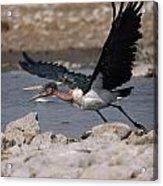Catch-as-catch Can Is Etoshas Acrylic Print