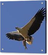 Catch Of The Day - White-bellied Sea-eagle Acrylic Print