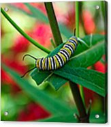 Caterpillar Before The Butterfly 1 Acrylic Print
