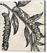 Caterpillars, 17th Century Artwork Acrylic Print