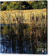Cattail Duck Cover Acrylic Print