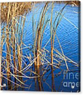 Cattail Reeds Acrylic Print by Ms Judi
