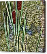 Cattails Along The Pond Acrylic Print