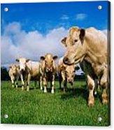 Cattle, Charolais Acrylic Print