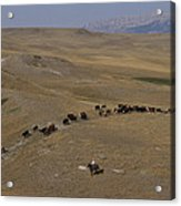 Cattle Drive In Montana Acrylic Print