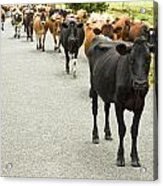Cattle Drive On A Road  Acrylic Print