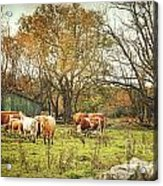 Cattle Gazing On Remaining Green Grass Acrylic Print