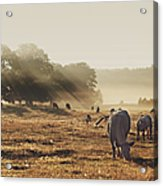 Cattle Grazing On Misty Morning Acrylic Print