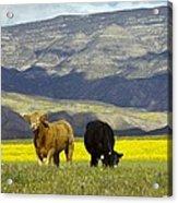 Cattle In California Acrylic Print