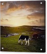 Cattle, Mannin Bay, Co Galway, Ireland Acrylic Print