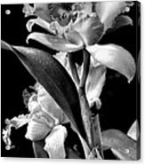 Cattleya - Bw Acrylic Print