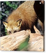 Cautious Red Fox Acrylic Print