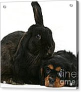 Cavalier King Charles Spaniel And Rabbit Acrylic Print