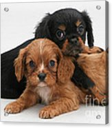 Cavalier King Charles Spaniel Puppies Acrylic Print by Jane Burton