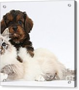 Cavapoo Pup And Tabby-point Birman Cat Acrylic Print