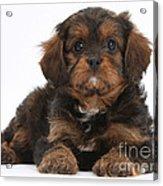 Cavapoo Pup Acrylic Print