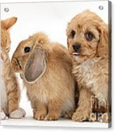 Cavapoo Pup, Rabbit And Ginger Kitten Acrylic Print by Mark Taylor