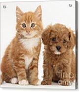Cavapoo Puppy And Kitten Acrylic Print